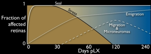 Temporal profile of remodeling in light induced retinal damage. A schematic of the fraction of retinas displaying remodeling attributes (see Table 3) displayed on an exponential time scale. Immediately after light exposure, all retinas show massive stress signals, but by pLX 120 these are no longer evident. Müller cell seals form rapidly after light exposure and persist. Breakdown of the seal can be detected by pLX 14 and increases with time. Classic remodeling phenomena such as migration and microneuromas are evident by pLX60 but decline after emigration and retinal decimation become dominant.