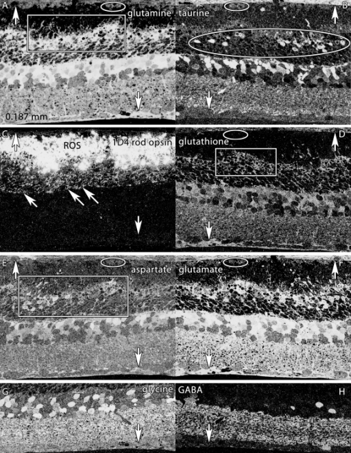 Altered molecular signatures immediately after 48 h of light exposure. Visualization: Quantitative gray-scale images displayed as intensity in mirror-image pairs (AB, CD, EF, GH). Up arrows, choroid-retinal pigment epithelium (RPE) interface; down arrows, Müller cell (MC) end feet; oblique arrows mark the border of the outer nuclear and outer plexiform layers. Scale: All panels are 0.187 mm wide. A: Glutamine signatures are elevated in MCs, with hypertrophy of distal MC processes at the external limiting membrane (box). The RPE layer is severely damaged, with only a few distinct cells (oval). B: Massive taurine depletion in MCs (down arrows) and abnormal elevation in photoreceptors (oval) and bipolar cells. C: 1D4 rod opsin reveals extreme disorganization of rod outer segments and extensive mislocalization of rod opsin into rod somas. D: Glutathione signatures highlight the disorganization of MC processes in the outer retina. E: Aspartate signals are abnormally high in rod inner segments. F: Glutamate signals in particular are abnormally elevated in MCs. G, H: Glycine and γ-aminobutyric acid (GABA) signals seem essentially normal, with no evidence of ischemia or excitotoxicity. Sample metadata: SD Rat, age at LX 60 d, animal #P60–1L-48, left eye, 48 h LX, harvested at 0 days pLX, bloc code 6464, slide code 3548b.