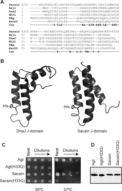The sacsin J-domain is functional. (A) Structure-aided alignment of the sacsin J-domain to four other J-domains of known structure and the HSJ1 J-domain. Comparison with a consensus of highly conserved residues derived from over 200 J-domain sequences is also shown. The J domains in the alignment are derived from Homo sapiens Sacsin, H. sapiens HSJ1, Escherichia coli DnaJ, H. sapiens HDJ1, the murine polyoma virus T antigen (TAg) and E. coli Hsc20. Those residues conserved in greater than 70% of all known J domains are indicated below the alignment as a consensus (Con). The position of each sequence is indicated at the start of each sequence. (B) Secondary structure of the sacsin J-domain (PDB code 1IUR) compared with the E. coli J-domain (PDB code 1XBL). The ribbon representations of the structures were rendered using PyMol. (C) The J-domain of sacsin was found to be functional using an in vivo complementation assay. Agt DnaJ (Agt) and Agt DnaJ with its J-domain swapped for that of sacsin (Sacsin) were able to replace the lack of chromosomally expressed DnaJ and CbpA in E. coli OD259 allowing growth at 37°C. Agt J-domain (H33Q) (Agt(H33Q)) and the Agt DnaJ-sacsin J-domain chimera with the H33Q substitution (Sacsin(H33Q)) were unable to replace DnaJ and CbpA in E. coli OD259, resulting in a lack of growth at 37°C. (D) Expression of Agt DnaJ and its chimeric derivatives was confirmed by western blot analysis.
