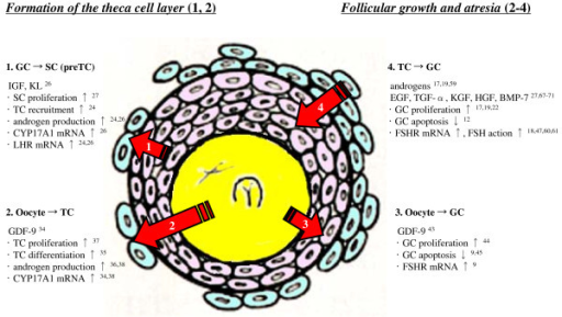 Follicular growth during the preantral early antral tra for Mural granulosa cells