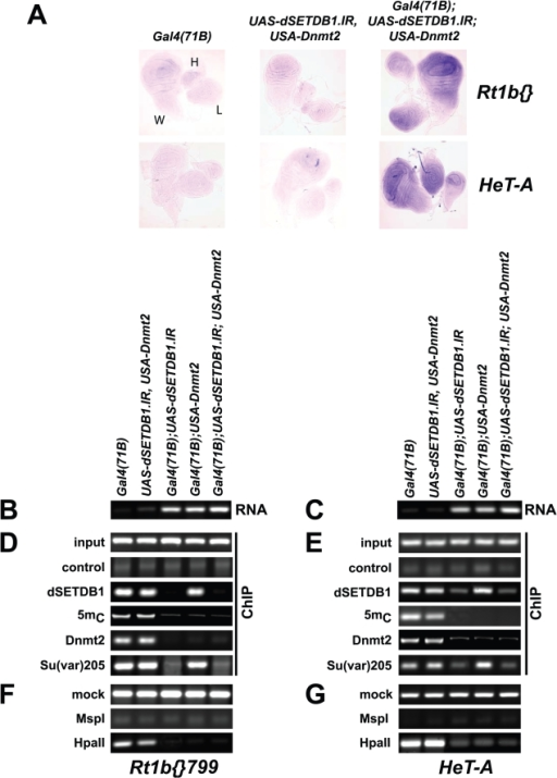 DSETDB1-mediated DNA methylation mediates silencing of Rt1b{} and HeT-A retrotransposons in the developing wing.(A) In situ hybridization assays detecting Rt1b and HeT-A transcription in wing (W), haltere (H), and third-instar leg (L) imaginal discs isolated from third-instar larvae, which ubiquitously express Gal4 [Gal4(71B)], contain the reporter construct USA-Dnmt2 and UAS-dSETDB1.IR or lack dSETDB1 [Gal4(71B);UAS-dSETDB1.IR], Dnmt2 [Gal4(71B);USA-Dnmt2], or both [Gal4(71B);UAS-dSETDB1.IRGal4(71B);USA-Dnmt2] by RNAi. (B,C) RvT-PCR assays monitoring the transcription of Rt1b{} and HeT-A retrotransposons in wing imaginal discs described in (A). RNA was isolated from 50 wing discs and reverse transcribed. PCR detected the presence of (A) Rt1b{} and (D) HeT-A transcription. (D,E) Digital images of ethidium bromide-stained agarose gels showing the reaction products of PCR assays detecting the presence of (B) Rt1b{} and (E) HeT-A in DNA pools generated by ChIP. Chromatin was isolated from in vivo cross-linked wing imaginal discs isolated from larvae of the genotype described in (A,D). Chromatin was immunoprecipitated with antibodies to dSETDB1, 5mC, Dnmt2, Su(var)205, and rabbit serum (control). Input represents the amount of retrotransposons detectable in 2.5% of the input material. (F,G) Digital images of ethidium bromide-stained agarose gels showing the reaction products of methylation-sensitive restriction analyses with genomic DNA isolated from wing imaginal discs described in (A). Genomic DNA was isolated, incubated with bovine serum albumin (BSA) (mock), the methylation-sensitive restriction endonuclease HpaII, or the methylation-insensitive restriction enzyme MspI. PCR assays monitored the presence of the (C) Rt1b{} and (F) HeT-A in treated DNA pools.