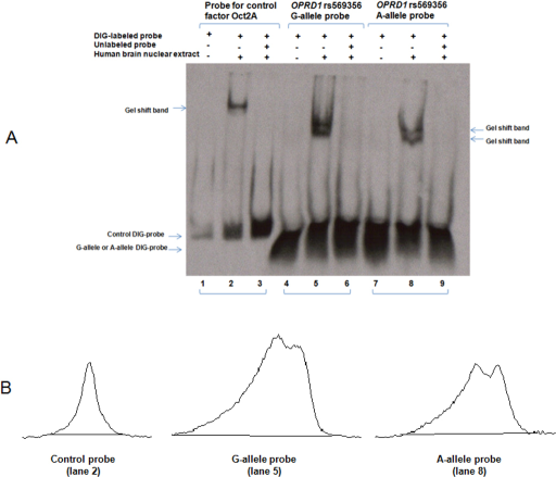 electrophoretic mobility shift assay animation Gel shift assays — also called electrophoretic mobility shift assays, these are used to study protein-dna or protein-rna interactions.