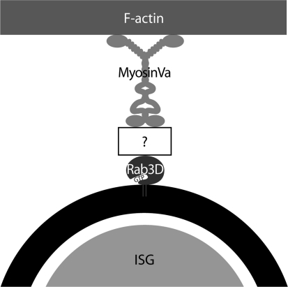"Model proposing the interaction of ISGs with F-actin. The scheme illustrates the putative anchorage of myosin Va to ISGs. Rab3D associates with the ISG membrane in the GTP-bound form and recruits the F-actin-dependent motor protein myosin Va through a not yet identified effector protein (white box with ""?"")"
