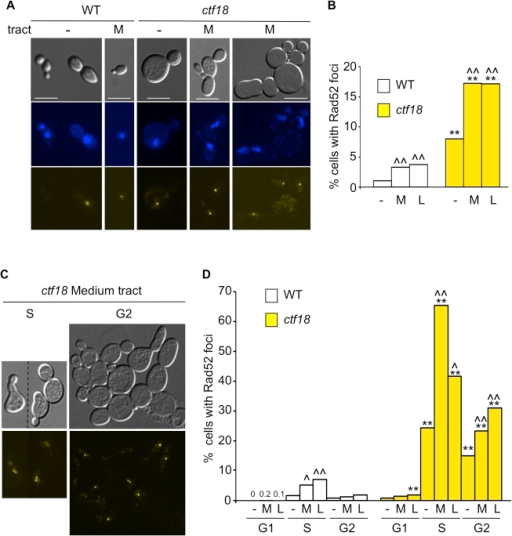 Cell cycle dependency of Rad52 focus formation in ctf18 cells.(A) Cultures of wild type and ctf18 cells were grown to mid-log phase before mounting on a microscope slide. The panel shows differential interference contrast (DIC), DAPI-stained DNA, and Rad52-yellow fluorescent protein (Rad52-YFP) images of selected cells among WT and ctf18 cells with no tract (−) or with a medium (CAG)70 tract (M). Scale bar is 10 µm. (B) Quantification of Rad52 foci formation in WT or ctf18 cells with no tract (−), medium (CAG)70 tract (M) or long (CAG)155 tract (L). *, p<0.05, **, p<0.01 compared to wild type of same tract length; ∧, p<0.05, ∧∧, p<0.01 compared to no tract of the same strain. (C) Cell cycle distribution of Rad52 foci. The occurrence of Rad52 foci in G1, S or G2 cells was determined after incubation with α-factor, 40 min after release from G1 or nocodazole, respectively (see Methods for details). Representative examples of ctf18 cells with medium (CAG)70 tract in S or G2 are shown as DIC images (top) or Rad52-YFP foci (bottom). (D) Quantification of Rad52 foci in G1, S, or G2 cell cycle stage. Labels and statistical analysis are as in (B). Percentages obtained for WT cells treated with α-factor are indicated. See Table S2 for complete set of data.