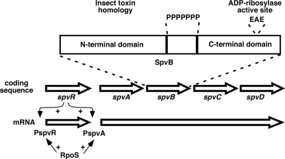 Map of the spv region found on virulence plasmids in subspecies 1 strains, not drawn to scale. The spvR gene is transcribed separately from the spvABCD genes. SpvR activates transcription at both promoters in concert with the RpoS sigma factor. The expansion shows the general structure of the SpvB protein, with N- and C-terminal domains separated by a run of proline residues (P). EAE denotes residues at the active site for the ADP-ribosylation activity.