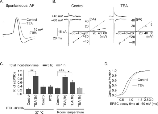 Increasing the action potential duration in stellate cells induces a change in rectification of the I–V relationship. A. Duration of spontaneous action potentials in cerebellar stellate cells increased during bath application of TEA at room temperature. B. sEPSCs displayed a nearly linear I–V relationship following TEA treatment (control, n = 5; TEA treatment, n = 6). Cerebellar slices were incubated with kynurenic acid (1 mM) and picrotoxin (100 µM) in the absence (control) or presence of TEA (1 mM, 3 h). C. Summary of rectification index of EPSCs. Cerebellar slices were incubated with 100 µM picrotoxin (n = 5; control, n = 4) or with 1 mM TEA for 3 h (at 37°C, n = 3; at room temperature, n = 6). D. The decay time of sEPSCs increased following TEA treatment (Kolmogorov-Smirnov test, P < 0.0001). Error bars show ± s.e.m.