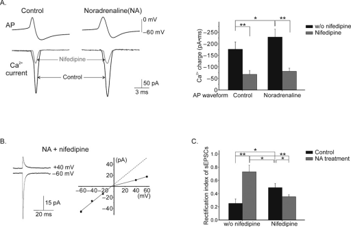 Noradrenaline increases Ca influx during the action potential and Ca entry via L-type Ca channels is required for NA-induced change in AMPAR phenotype. A. Duration of Ca2+ currents was enhanced using NA-AP as the voltage command, compared to control (n = 5). Nifedipine (20 µM) blocked most of the Ca2+ current using control-AP and NA-AP as the voltage command (n = 5). B. Following 3 hour incubation with noradrenaline and nifedipine sEPSCs displayed an inwardly rectifying I–V relationship (n = 6). C. Summary of rectification index of EPSCs (nifedipine alone, n = 5). (*, P < 0.05; **, P < 0.005). Error bars show ± s.e.m.