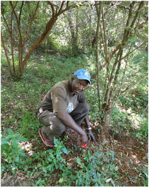 A key respondent demonstrating the process of harvesting roots from a medicinal plant in the forest in Buuri district, Meru County, Kenya.