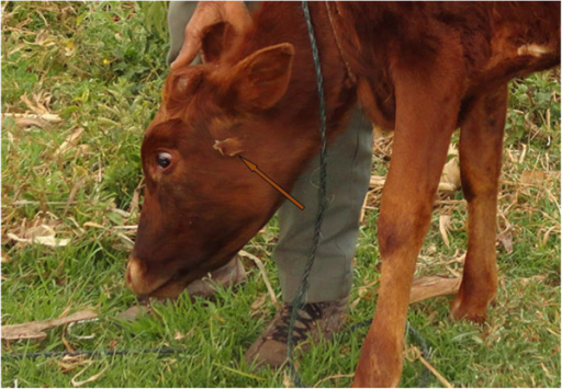 A calf treated with the latex of Synadenium compactum N. E. Br. for East Coast fever (arrow show where the plant latex had been applied to the swollen parotid lymph gland).
