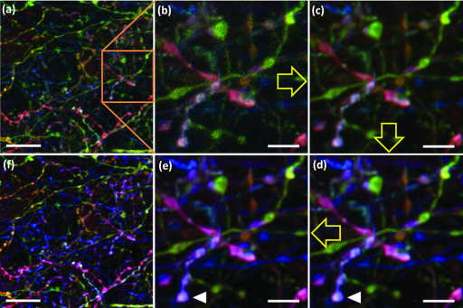 Processing a Brainbow image(a) Original image. (b) Region boxed in a. (c) Deconvolution, resulting in decreased noise without sacrificing spatial resolution. (d) Intensity normalization, expanding perceptible color range. (e) Color shift correction (see also Supplemenatry Fig. 10). (f) Fully processed image.Yellow arrows indicate sequence of the image processing. White arrowheads indicate corresponding objects in the original and color-shift corrected images. Bars are 10µm in a and f, 3µm in b–e.