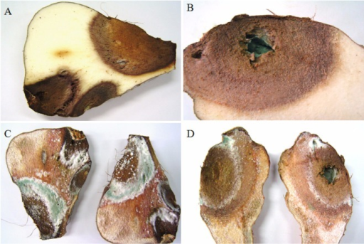 Brown to dark-brown lesions in the flesh of the yam tuber (A, B), and whitish mycelia and bluish or blue-green spores that developed on the infected tissues after 2 days of incubation at room temperature (C, D).