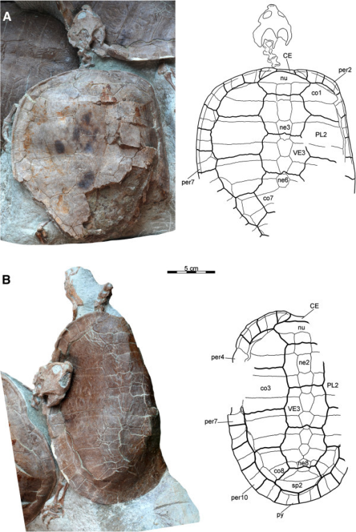 "Carapaces of Xinjiangchelys wusu, Middle Jurassic, ?Qigu Formation, ""Turtle Cliff"", Shanshan area, Turpan Basin, Xinjiang Autonomous Province, China. A, PMOL-SGP A0100-1 (holotype), photograph and line drawing; B, PMOL-SGP A0100-2, photograph and line drawing. Abbreviations: CE: cervical scute, co: costal, ne: neural, nu: nuchal, per: peripheral, PL: pleural, VE: vertebral, py: pygal, sp: suprapygal."