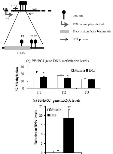 Target area (a), DNA methylation levels (b), and mRNA levels (c) of the peroxisome proliferator activated receptor gamma 1 (PPARG1) gene in intramuscular fat (IMF) and muscle portion of Korean cattle steer longissimus dorsi muscle tissue. (a) DNA methylation assay target area of the PPARG1 gene promoter region and transcription factor binding sites. TFCP2, transcription factor CP2. (b) DNA methylation levels were determined by pyrosequencing of bisulfite-treated DNA. Values are the mean+SE (n = 5). (c) The mRNA levels were determined by real-time PCR and normalized against a housekeeping gene. Muscle portion data were normalized to 1.0. Values are the mean+SE (n = 10). * p<0.05; ** p<0.01. PCR, polymerase chain reaction; SE, standard errors.