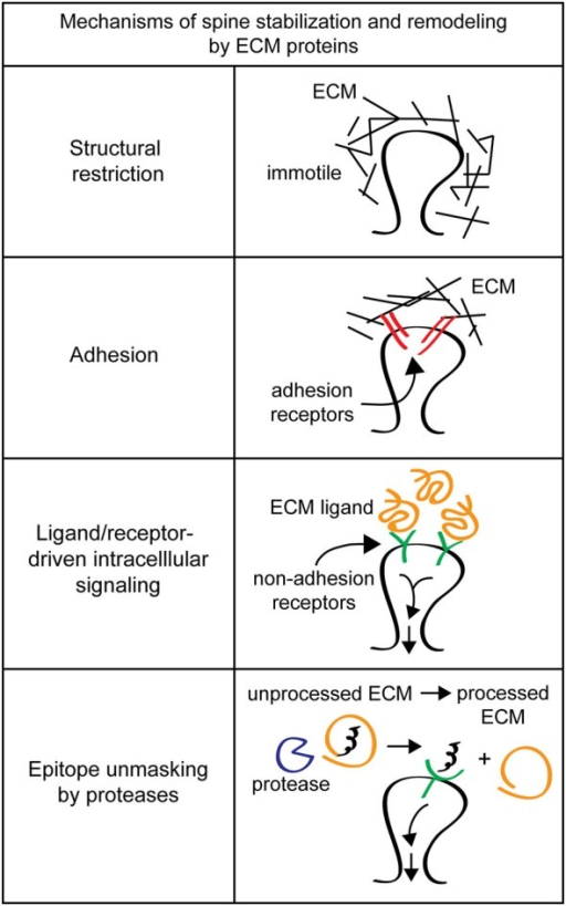 Mechanisms of spine stabilization and remodeling by extracellular matrix (ECM) proteins. Extracellular matrix components can stabilize and remodel dendritic spines by a variety of different mechanisms. Structural restriction: ECM components such as chondroitin sulfate proteoglycans (CSPGs) can form a matrix around dendritic spines to provide extracellular rigidity and physically restrict spine motion. Adhesion: classical ECM proteins such as fibronectin and RGD-containing proteins can act as adhesion substrates and bind to integrin adhesion receptors to remodel spines. Ligand/receptor-driven intracellular signaling: ECM proteins like reelin function as ligands for non-adhesion receptors to drive intracellular signaling cascades that regulate spine remodeling and formation. Epitope unmasking by proteases: extracellular proteases such as tissue plasminogen activator (tPA) and the matrix metalloproteinase (MMPs) can cleave ECM proteins to reveal cryptic ligands that drive intracellular signaling to change spine morphology.
