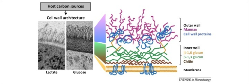 Changes in carbon source programme major changes in cell wall architecture. Transmission electron micrographs of the Candida albicans cell wall from cells grown on lactate or glucose as sole carbon source are shown on the left [33]. The cartoon on the right illustrates the structure of the C. albicans cell wall (adapted, with permission, from [76]).