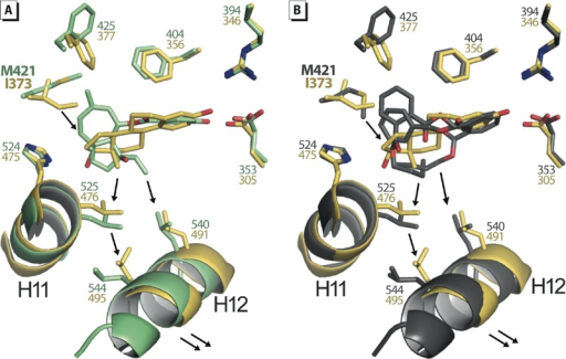 Methionine 421 confers plasticity and adaptability to ERα LBP. Structure superposition of E2-bound ERβ LBD (yellow) with (A) ferutinine-bound ERα LBD (green), or (B) BBP-bound ERα LBD (gray). The presence of I373 in ERβ instead of M421 in ERα will induce a shift of bulky ligands toward helix H12 thus lowering the stability of the AF‑2.