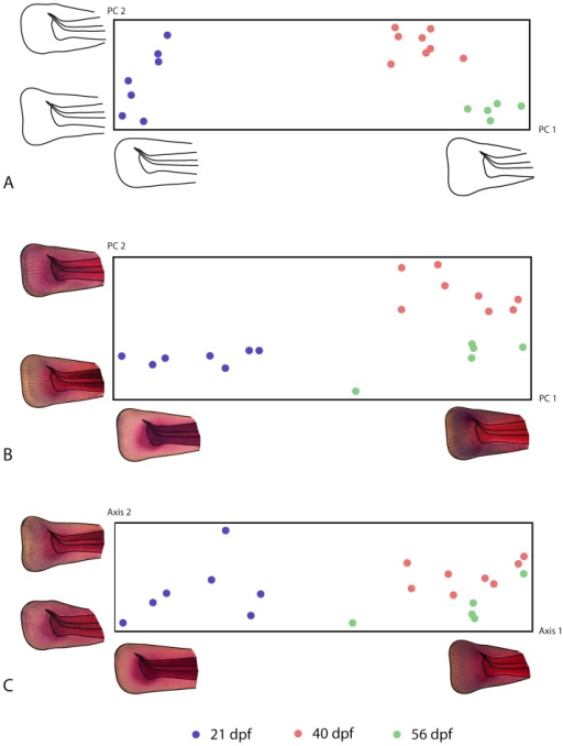 Principal component analyses.Principal component analyses of (A) fin shape and (B) cell density, as well as (C) a joint ordination of both fin shape and cell density based on a scaled partial least squares analysis [37]. Each symbol in the scatter plots corresponds to one individual, and the distance between individuals approximates the overall amount of shape difference or difference in cell density. The axes of these plots correspond to patterns of shape change, to patterns of change in cell density, and to a combination of both, respectively. These patterns are visualized by reconstructed shapes and cell density patterns along the axes that correspond to the limits of variation occurring in the sample (approximately 3 standard deviations from the mean).