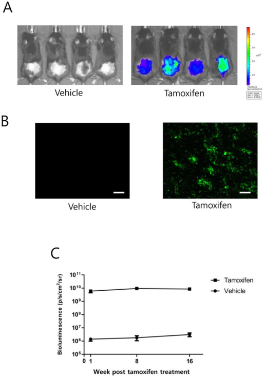 Robust transgene expression in the skin following Cre-mediated DNA excision.(A) Bioluminescence imaging of the dorsal skin of 2PLEASE; R26-Cre-ERT2 double-transgenic mice at 1 week post-treatment with vehicle (left panel) and tamoxifen (right panel). (B) Basal cells in the dorsal skin of these mice were imaged via in vivo green fluorescence imaging. Numerous skin cells in the basal layer expressed EGFP following tamoxifen treatment, while no detectable signals were found in the layer of vehicle-treated mice (Tile-scanned images, scale bars, 200 μm). (C) Average bioluminescent signals from the dorsal skin of mice at the indicated time points after topical treatment with tamoxifen or vehicle. Note that no increases in bioluminescence signals were observed from the tamoxifen-treated mice over several months.
