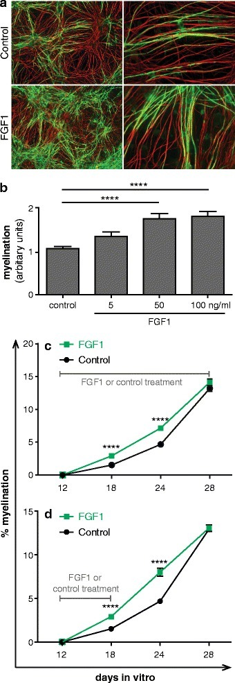 FGF1 promotes myelination in dissociated spinal cord cultures. Myelinating cultures were treated with different concentrations of FGF1 from 22 DIV to 26 DIV and then stained for myelin (MBP in green) and axons (SMI-31 in red). (a) FGF1 treated cultures showed enhanced levels of MBP+ myelin sheath as compared to the control cultures. Magnification: left panel = 10X, right panel = 40X. (b) Quantitative evaluation: FG1 promotes myelination ****P <0.0001. Error bars represent SEM of two experiments. Myelinating cultures were treated with 100 ng/ml FGF1 for different time periods. Axonal density calculated as pixel for NFL (different FGF1 dosages/control) were 1.17 for 5 ng/ml FGF1, 1.2 for 50 ng/ml FGF1 and 1.06 for 50 ng/ml FGF1. (c) 16 days (12 DIV to 28 DIV) and (d) 6 days (12 DIV to 18 DIV). The myelination was enhanced at day 18 and 24, but unaltered at day 28. ****P <0.0001. Significance of data values was analyzed using T-test. Error bars represent SEM from three independent experiments. The axonal densities (FGF1/control) ranged between 0.98 and 1.02 in the experiments shown in (c) and (d).