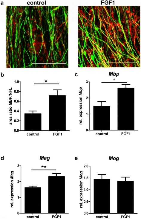 FGF1 enhances remyelination in organotypic cerebellar slice cultures. After toxic demyelination, cerebellar slice cultures were allowed to remyelinate for 14 days in the absence or presence of 100 ng/ml FGF1. Myelination was assessed by immunostaining (a, b) and quantitative PCR (c–e). (a)Mpb (red), NFL (green) scale bar = 50 μm (b) Quantification of Mpb+/NFL+ area ratio in FGF1 treated slices compared to untreated controls. Mpb+ myelin formation is promoted by FGF1. Students t-test *P = 0.0341. (c-e) After 14 days RNA was extracted, cDNA obtained and transcript levels of (c)Mpb, (d)Mag and (e)Mog were measured by qPCR. One-way ANOVA **P < 0.01; *P < 0.05; All error bars represent SEM from three independent experiments.