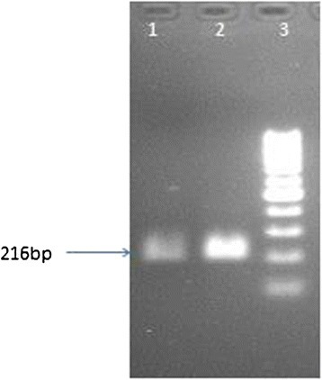 Lane 1 and 2 show PCR product of 216 bp with full length primers of cTP while lane 3 is 1 kb ladder.