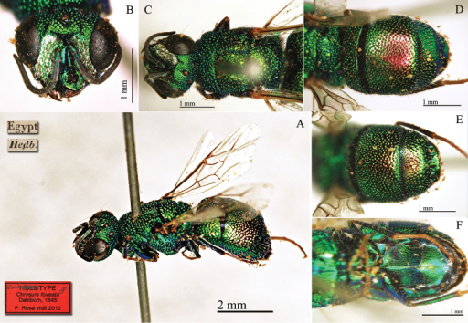 Chrysurafoveata Dahlbom, 1845, syntype male. A Habitus, dorso-lateral view B head, frontal view C head and mesosoma, dorsal view D metasoma, dorsal view E third metasomal tergite, dorsal view F metasomal sternites, ventral view.