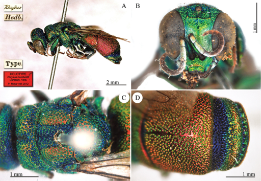 Chrysurahumboldti Dahlbom, 1845, holotype. A Habitus, lateral view B head, frontal view C mesosoma, dorsal view D second and third metasomal tergites, dorsal view.