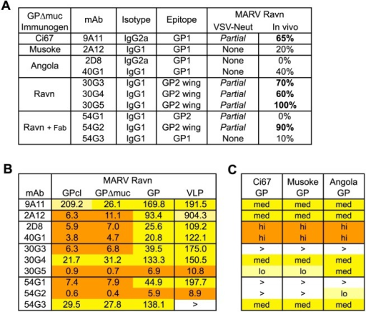 Antibody characterization.(A) Overall summary of mAb generation, characterization, in vitro neutralization of MARV GP-pseudotyped VSV, and in vivo protection in mice. Antibodies were generated from a single immunogen with the exception of 54G1, 54G2 and 54G3 which were primed with Ravn GPΔmuc and boosted with GPΔmuc 30G4 Fab complex. (B) ELISA EC50 values against different forms of purified MARV Ravn GP or against VLPs in ng/ml. Relative potency is indicated by orange highlight (high, EC50 <20ng/ml), dark yellow (medium, EC50 20-200ng/ml), or light yellow (low, EC50 >200ng/ml). (C) Relative ELISA binding to purified mucin-containing GPs from other MARV strains. No binding at 10μg/ml maximum mAb concentration is represented by >.