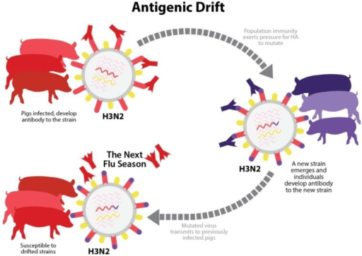 Antigenic drift. Over time, random mutations in HA and NA genes of an influenza A virus in swine (IAV-S) strain may cause significant changes in antigenic properties. A swine herd with population immunity to IAV-S has neutralizing antibodies specific to a strain that was previously encountered through infection or vaccination. However, if antigenic drift produces a new variant strain that pre-existing antibodies in the herd are unable to neutralize, the pigs become susceptible to reinfection.