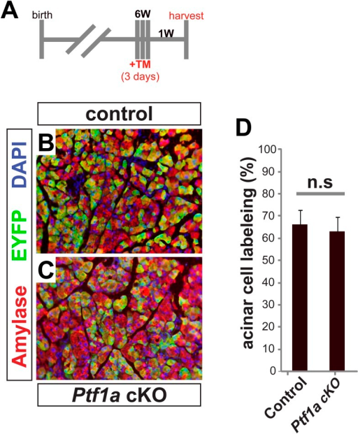 Cre-mediated recombination rates following high-dose tamoxifen treatment.(A) 6–8 week old mice were administered 0.17 mg/g TM on three consecutive days, and pancreata were harvested 1 week later. (B, C) Immunofluorescence for amylase (red) and the Cre reporter R26REYFP (green) in TM-treated pancreata of the indicated genotypes. (D) The proportion of EYFP expression within amylase+ acinar cells was quantified for all genotypes. No significant difference was observed between groups (n = 3–4 per genotype). Scale bar: 100 μm.DOI:http://dx.doi.org/10.7554/eLife.07125.013