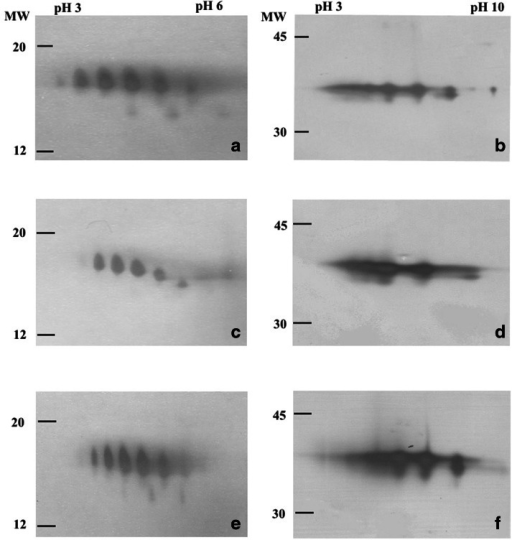Two-dimensional gel electrophoresis (2D-PAGE) of before EPR, BIN, and RET (a, c and e, respectively) and after (b, d and f, respectively) peptide-N4-(acetyl-b-glucosaminyl)-asparagine amidase F (PNGase F) digestion. EPR Eprex®, BIN Binocrit®, RET Retacrit®, MW molecular weight