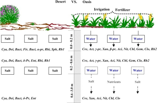 Schematic diagram of the profile changes of dominated microbial community when desert becomes oasis at the southern periphery of the Gurbantonggut Desert.Actinobacteria = Act, Alphaproteobacteria = α-pr, Acidobacteria = Aci, Bacillales = Baci, Bacteroidetes = Bact, Betaproteobacteria = β-pr, Chloroflexi = Chl, Clostridiales = Clo, Crenarchaeota = Cre, Cyanobacteria = Cya, Deinococcus-Thermus = Dei, Deltaproteobacteria = δ-pr, Enterobacteriales = Ent, Gammaproteobacteria = γ-pr, Gemmatimonadetes = Gem, Firmicutes = Fir, Nitrospirae = Nit, Rhizobiales = Rhi, Rhodobaterales = Rh1, Rhodospirillales = Rh2, Sphingomonadales = Sph, Xanthomonadales = Xan.