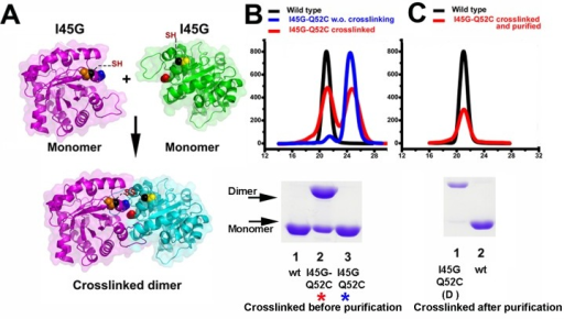 Disulfide Cross-linker induced dimerization of I45G mutant.(A) Localization of the engineered I45G-Q52C double mutant. The upper panel represents the monomeric I45G-Q52C double mutatn that may assemble as a dimer by effect of a cross-linking reaction (lower panel) (B) Gel filtration elution profiles and SDS-PAGE analysis for wild-type and I45G-Q52C double mutant before and after cross-linking. Approximately two thirds of the I45G-Q52C double mutant cross-linked in to a dimer as assessed by SDS-PAGE (lane 3 bottom panel). The differences between the percentage of assembled dimer by SDS-PAGE and gel filtration may due to a differential in the exposure of aromatic residues between the monomer and dimer (C) Gel filtration elution profiles and SDS-PAGE for wild-type and purified cross-linked I45G-Q52C double mutant. The gel filtration step efficiently separates the cross-linked I45G-Q52C double mutant from the unreacted protein (lane 1 bottom panel). The elution profiles have been normalized to ease comparison.