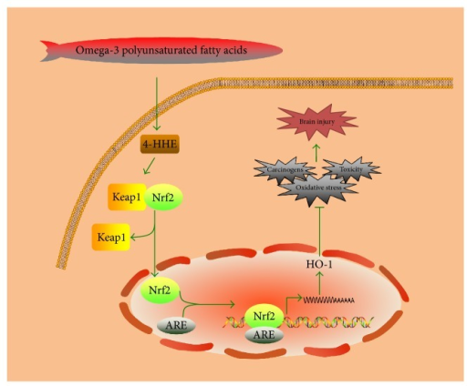 The Nrf2/HO-1 signaling pathway induced by n-3 PUFAs.