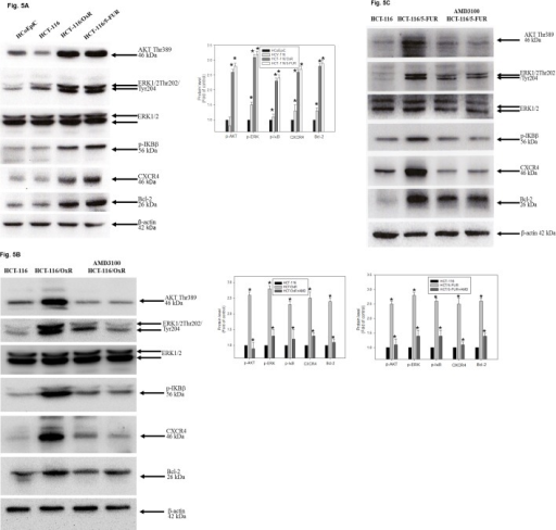 Effect of CXCR4 inhibition on AKT, ERK1/2 and NF-kB pathways.(A) Whole cell lysate proteins were prepared and analyzed by Immunoblotting, using antisera to detect Akt, ERK, IKBβ signaling as well as CXCR4 and Bcl-2. *P < 0.05, when compared with control HCoEpiC group. Whole cell lysate proteins were prepared and analyzed by western blot, with β-actin serving as loading control. Data presented in western blot are derived from a representative study, and comparisons of protein expression are calculated from three independent experiments. (B)(C) HCT-116, HCT-116/OxR and HCT-116/5-FUR cells were pretreated with or without AMD3100. *P < 0.05, when compared with untreated control HCT-116 group.