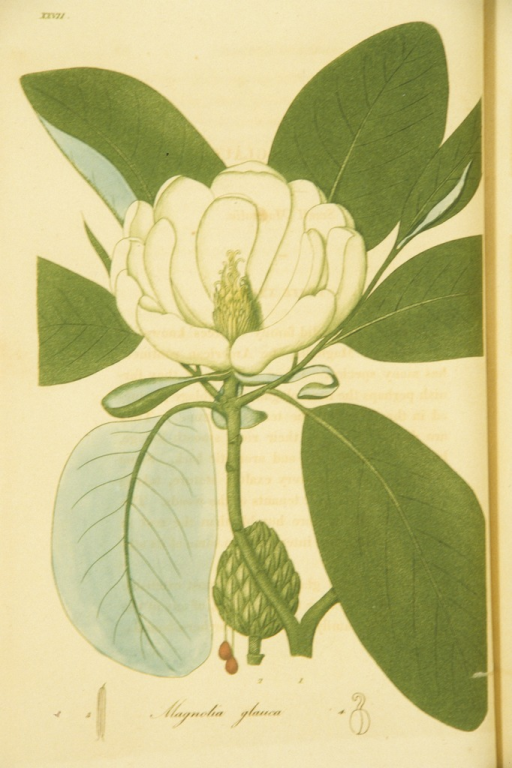 <p>Colored engraving of a flowering small magnolia.</p>