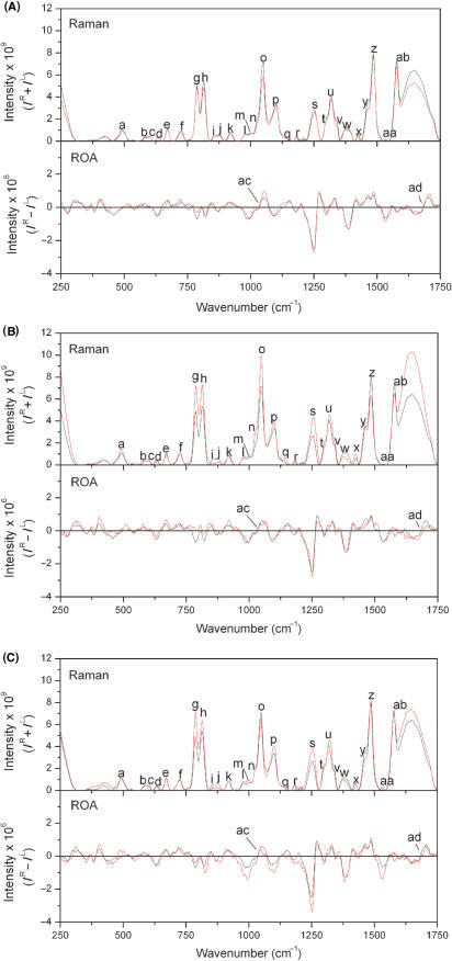 Raman and ROA spectra for all oligonucleotides. Pairwise comparisons of baseline corrected and normalized Raman (top panel) and ROA (bottom panel) spectra for Hairpin RNA (black) and (A) Mismatch RNA, (B) Bulge RNA and (C) EMCV RNA (red). The letters identifying each peak in the spectra correspond to those given in Table 1.