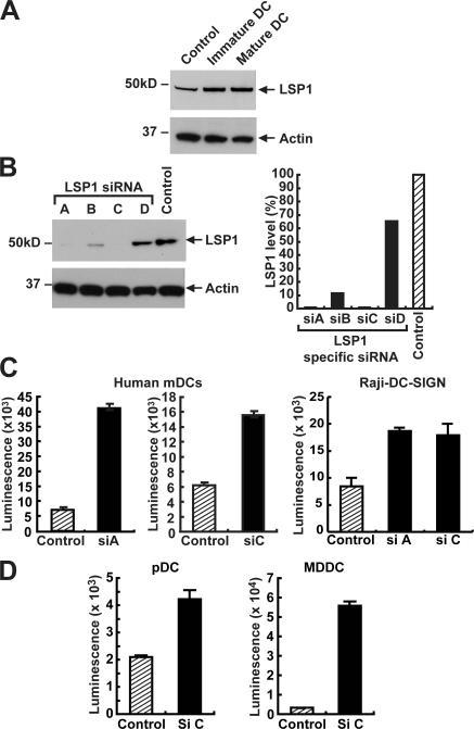 LSP1 down-regulation causes increased HIV-1 transfer in human DCs. (A) LSP1 expression in human DCs. Cell lysates prepared from immature or poly:IC-matured mDCs isolated from human elutriated monocytes were assayed for LSP1 expression by a polyclonal anti-LSP1 antibody. Expression was measured against control cell lysates from 293T transfected with the LSP1 gene. (B) Specific siRNAs for human LSP1 cause a down-regulation of LSP1 expression. Raji–DC-SIGN cells were transfected with the indicated LSP1, and control siRNA duplexes were introduced by nucleofection. 24 h after transfection, cell lysates (20 μg of total protein) were assayed for LSP1 expression by immunoblot (left). The film images were digitized using an Epson scanner and quantified using Bio-Rad Quantity One software. The numbers obtained for LSP1 were corrected using the numbers obtained from actin and plotted relative to control in a Microsoft Excel graph as indicated (right). (C and D) Down-regulation of human LSP1 in human DCs and Raji DC-SIGN cell line causes an increase in HIV-1 transfer to T cells. Mature human DCs were transiently transfected by GeneSilencer with siRNA for LSP1 (siA and siC) or scrambled siRNA (control). To label transfected cells, unrelated Cy5 siRNA was mixed with both control siRNA and LSP1 siRNAs at a ratio of 4:1. 8 h after the siRNA transfection, the cells were sorted for the Cy5 label and plated onto 96-well plates. 24 h after transfection, cells were pulsed with luciferase expressing 780 ng/ml HIV-1ADA for 2 h at 37°C, washed five times, and incubated with A3R5 T cells. Cells were lysed 72 h after transfection and analyzed for luciferase activity. These experiments were performed in three independent HIV-1− donors in triplicate samples, and two such experiments are represented in the figure.