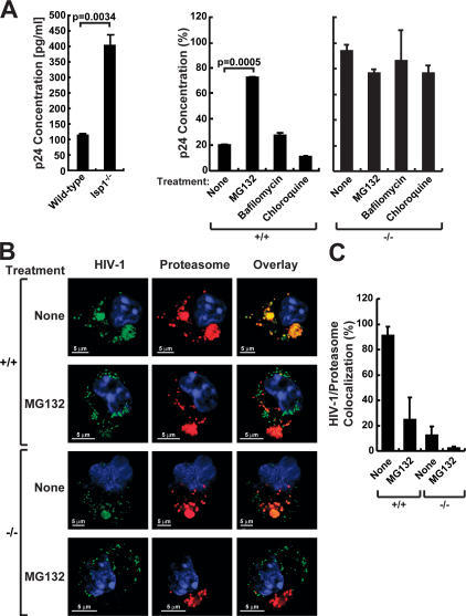 LSP1 traffics HIV-1 to the proteasome. (A) HIV-1 degradation is decreased in lsp1−/− DCs, and proteasome inhibitors block HIV-1 degradation in the presence of LSP1. Mature BMDCs from lsp1−/− and wt mice were pulsed with HIV-1–GFP for 2 h at 37°C, washed with PBS, trypsinized, and lysed with p24 lysis buffer reagent (left). Mature BMDCs from wt (lsp1+/+) were pretreated for 1 h with MG132 (proteasome inhibitor), chloroquine, or bafilomycin A-1 (lysosomal inhibitors) in RPMI or RPMI alone in a 96-well tissue culture dish (5 × 104 cells). Cells were then pulsed with HIV-1–GFP for 2 h at 37°C in the presence of inhibitors, washed with PBS, replaced with media containing the respective inhibitors, and incubated for an additional 1 h. Cells were then trypsinized, washed, and lysed with p24 lysis buffer reagent (right). p24 Gag concentrations were assayed by ELISA. These data are representative of the 1-h time point from multiple experiments performed in triplicate. The percentage values were calculated by setting the amount of p24 measured immediately after removing the virus from the cells, the 0-h time point, to 100%. The differences in p24 after several hours were then measured and compared with the 0-h time point. (B and C) HIV-1 shows greater colocalization with the proteasome in DCs expressing LSP1. (B) Mature BMDCs from lsp1−/− (−/−) and wt (+/+) mice were pulsed with HIV-1–GFP (green) for 30 min at 37°C. For proteasome inhibitor studies, BMDCs from lsp1−/− and wt mice were incubated with the proteasomal inhibitor MG132 in 5 μg/ml RPMI or RPMI alone for 1 h before infection by HIV-1–GFP (green) for 30 min. Cells were washed, fixed, and stained with a mAb to the 20S proteasome subunit a-4 (red) and viewed using confocal microscopy. HIV-1 that colocalizes with proteasomes appears yellow (overlay). (C) HIV-1 colocalization with proteasomes is representative of a percentage of HIV-1 that colocalizes with a percentage of proteasomes above a measurable threshold. Percentage colocalization was calculated using the Leica confocal software. Three images/sample were used, and error bars were assigned accordingly.