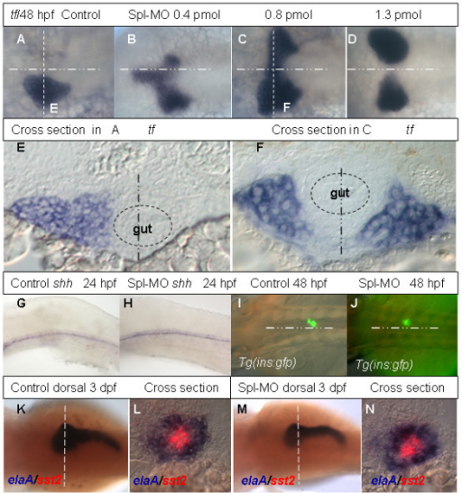 Analyses of liver and pancreas development in Rbp4 morphants. (A-D) Dorsal view of transferrin expression at 48 hpf in a control embryo (A) and in 48 hpf embryos injected with increasing dosage of Spl MO as indicated (B-D). The midline is indicated by a horizontal point/dash line. (E, F) Cross sections of the control embryo in (A) and morphant in (C) respectively. The section plane is indicated in (A, C) by the vertical dash line. Dashed circles in (E, F) represent gut and the vertical poin/dash lines indicate the midline. (G, H) Lateral view of shh expression in 24 hpf control embryo (G) and morphant (H). (I, J) Dorsal view of GFP expression in the principle islet of pancreas in 48 hpf control Tg(ins:gfp) embryo (I) and morphant (J). (K-N) Control and morphant stained using two-color WISH with fluorescein-labeled somatostatin 2(red) and Dig-labeled elaA (blue). Panels (K, M) shows dorsal views of 3 dpf control and morphant respectively. Panels (L, N) are cross section at the planes as indicated in (K, M). Abbreviations: elaA, elastaseA; sst2, somatostatin 2; shh, sonic hedgehog; tf, transferrin.