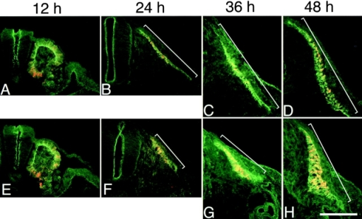 Observations on the developmental effect of the JM(−) cadherin expression. Embryos were injected with AdV-Ncad (A–D) or AdV-cN/JM(−) (E–H) and double stained for the cadherin-attached tag (green) and β-catenin (red) at 12, 24, 36, and 48 h after the injection. Expression of the JM(−) cadherin did not affect the organization of epithelial somites (E). However, the expansion of the myotome along the DV axis was inhibited from the beginning of this process. Bar, 250 μm.