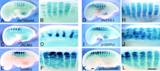 Effects of expression of other cadherin or p120ctn constructs on myotome development. Embryos were coinjected with AdV-lacZ and AdV-cN/784AAA (A and B), AdV-cN/JMΔ (C and D), AdV-cN390Δ (E and F), AdV-cN/CH(−) (G and H), AdV-p120/FLf (I and J), or AdV-p120/ΔN346f (K and L). These were subjected to whole-mount X-gal staining at 72 h after injection. The triple alanine-substituted cadherin cN/784AAA had no effects on myotome morphogenesis (A and B). cN/JMΔ carrying a small deletion covering the 120ctn binding site caused the same effects as cN/JM(−) (C and D). The dominant negative cadherin cN390Δ (E and F) and the CH domain–deleted cadherin cN/CH(−) (G and H) did not affect the DV expansion of myotome, although the former perturbed segmental boundaries. The NH2 terminus–deleted p120ctn had no effect on myotome formation (K and L), whereas the full-length p120ctn affected the orientation of myofibers (I and J). Bars, 500 μm.