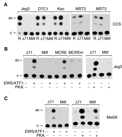 Mitf-M promoter analysis. (A) Mitf-M promoter activity in CCS cell lines. The CCS cell lines indicated or Jeg3 cells as control were transfected with pRSVCAT (R), Δ(−71)SomCAT (Δ71) or pMITF-MCAT (Mitf). (B) Transactivation by EWS/ATF1 and PKA in Jeg3 cells. Cell were transfected with the reporter plasmids (pΔ(−71)SomCAT (Δ71), pMITF-MCAT (Mitf), pMCRECAT (MCRE) and pMCREmCAT (MCREm)) indicated above in the absence (−) and presence (+) of pΔ287C expressing EWS/ATF1 or pCMVCα expressing the catalytic subunit of PKA. (C) Transactivation by EWS/ATF1 and PKA in melanoma cells. Mel 28 cells were transfected with the reporter plasmids (pΔ(−71)SomCAT (Δ71) and pMITF-MCAT (Mitf)) indicated above in the absence (−) and presence (+) of pΔ287C expressing EWS/ATF1 or pCMVCα expressing the catalytic subunit of PKA.