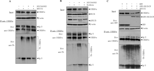 Ectopic expression of active form of PKCδ facilitates ubiquitination of C/EBPα protein.(A) NB4 cells were treated with or without 25 nM of NSC606985 for 12 hours and/or 10 µM MG132 for 5 hours before harvest. (B) After pretreatment for 2 hours in the presence or absence of 1 µM of rottlerin, NB4 cells were treated with or without 25 nM of NSC606985 for additional 12 hours. (C) HEK293T cells were transfected with C/EBPα, ubiquitin and other plasmids as indicated for 24 hours. Then, cells were treated with or without 20 µM MG132 for 5 hours before harvest. Cell lysates were co-immunoprecipitated with anti-C/EBPα antibody, and precipitates or total lysate (input) were detected by western blots for GFP, PKCδ, C/EBPα and ubiquitin.
