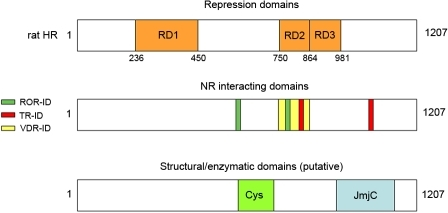 Schematic representation of rat HR structural and functional domains.Repression domains (RD1, 236-450; RD2, 750-864; RD3, 864-981); TR-interacting domains (TR-ID1, 816-830; TR-ID2, 1026-1038); ROR-interacting domains, ROR-ID1, 586-590; ROR-ID2, 778-782); cysteine-rich domain, 587-712; JmjC domain, 964-1175. Note that rat HR is 1207 amino acids, mouse and human Hr initiate at an internal AUG (amino acid 27 in rat Hr) and are 1182 and 1189 amino acids, respectively.