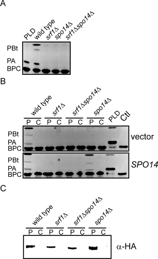 Srf1 regulates phospholipase D catalytic activity in mitotic cells.(A) Extracts of the particulate fraction were prepared from wild type (YPH500), spo14Δ (YKB2076), srf1Δ (YKB1164) and srf1Δspo14Δ (YKB2080) cells and incubated with BODIPY labeled glycerophosphocholine (BPC) as described in Materials and Methods. Purified Streptomyces chromofuscus (S. chromofuscus) PLD was included as a positive control for the production of phosphatidic acid (PA). In addition, since Spo14, but not S. chromofuscus PLD, can convert n-butanol to phosphatidylbutanol (PBt), PLD activity was also assessed by including n-butanol (1% v/v) in the reaction mixture. Reactions were allowed to proceed for 40 min at 30°C before separating reaction products by TLC. The absence of Srf1 resulted in a complete loss of detectable PLD activity similar to that observed in spo14Δ mutant strains. (B) Strains listed above were transformed with either pRS415, an empty vector (vector), or pME940, a CEN vector expressing HA-SPO14 (SPO14) [24]. Particulate (P) and cytosolic (C) fractions were assessed for PLD as described above. Deletion of SRF1 does not result in altered partitioning of PLD activity into the cytosolic fraction and expression of HA-Spo14 does not rescue PLD activity in srf1Δ strains. (C) Particulate and cytosolic fractions prepared as in (B) were separated by SDS-PAGE and analyzed by immunoblotting using anti-HA antibodies. HA-Spo14 remained associated with the particulate fraction although protein levels were observed to be moderately reduced in srf1Δ strains. Representative images are shown (n = 3).