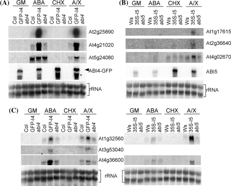 Confirmation of ABA and ABI dependent gene targets. Wild-type (Col or Ws), transgenic (35S-GFP-ABI4 or 35S-ABI5) and mutant (abi4 and abi5-1) seedlings were grown for 11 days on GM, then treated for 3 h with either ABA, cycloheximide (CHX) or ABA + cycloheximide (A/X). Induction of ABI targets was assayed by Northern blot. a ABI4-regulated genes, b ABI5-regulated genes, and c genes regulated by both ABI4 and ABI5. For the ABI4-GFP transcript, the probe was specific to ABI4. An arrowhead indicates full length transcript and an asterisk indicates a truncated/partially degraded transcript