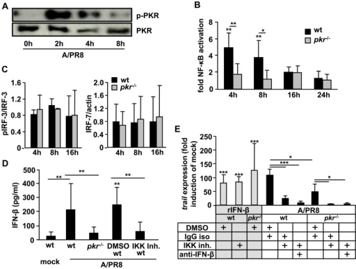 IV-induced IFN-β release and subsequent TRAIL expression depend on activation of PKR and NF-κB in alveolar macrophages.(A) Murine AM were A/PR8 infected ex vivo and expression of phosphorylated PKR (p-PKR) and total PKR were assessed by western blot. Wt or pkr−/− AM were A/PR8-infected ex vivo and NF-κB p65 activation was comparatively analysed by TransAM assay (quantifying p65 binding to a consensus-binding site oligo by a colorimetric method) and depicted as fold activation of mock-infected control (B) or phosphorylated IRF-3 in relation to total IRF-3 protein expression or total IRF-7 expression were determined by western blot at the given time points pi and densitometry data is depicted as relative expression (C). (D) Wt vs. pkr−/− AM or IKK inhibitor- vs. DMSO-treated wt AM were A/PR8-infected ex vivo and IFN-β concentrations in supernatants were analysed 24 h pi. (E) Wt or pkr−/− AM were either A/PR8-infected or stimulated with 180 U/ml rIFN-β, respectively, and additionally treated with IKK inhibitor vs. DMSO or anti-IFN-β vs. isotype Ab and TRAIL mRNA expression was quantified 16 h pi. (A) shows a representative western blot of 3 independent experiments. Bar graphs represent means ± SD of 3 (B, C) or 4 (D, E) independent experiments. * p<0.05; ** p<0.01; ***p<0.005; ctrl, control; iso, isotype; pi, post infection; Ab, antibody.