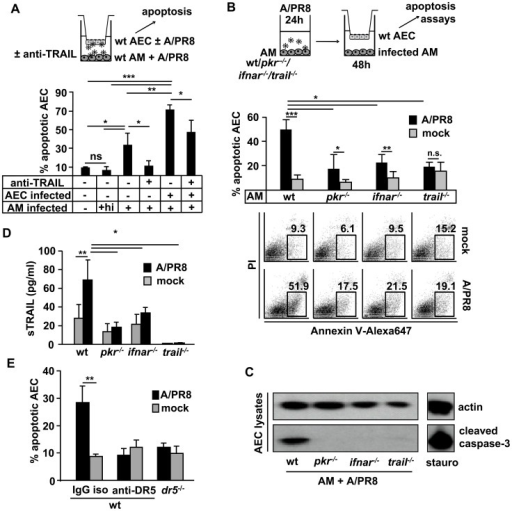 Macrophage TRAIL induces AEC apoptosis in a PKR- and type I IFN-dependent way ex vivo.(A) 48 h co-cultured murine AEC (mock- or A/PR8-infected) and AM (A/PR8-infected) were treated with anti-TRAIL or isotype Ab and AEC apoptosis was quantified by flow cytometry (Annexin V staining). (B, C) Mock- or A/PR8-infected wt, pkr−/−, ifnar−/− or trail−/− AM (MOI = 0.1) were co-cultured with AEC for 48 h until AEC apoptosis was determined by FACS (representative FACS plots provided in bottom panel) or western blot using an anti-cleaved caspase-3 Ab and lysates of staurosporin-treated AEC as positive control. (D) Wt or gene-deficient AM were mock- or A/PR8-infected (MOI = 0.1) ex vivo and TRAIL concentrations were determined at 48 h pi. (E) Mock or A/PR8 infected wt macrophages were co-cultured with wt AEC and a neutralizing anti-DR5 antibody or the isotype control were added to the medium. Additionally, wt mock or A/PR8 infected macrophages were co-cultured with dr5−/− AEC for 48 h and until AEC apoptosis was determined by FACS. (C) shows a representative western blot of 3 independent experiments. Bar graphs show means ± SD of (A) 3, (B, D) 5 and (E) 3 independent experiments. * p<0,05; ** p<0,01; ***p<0,001; AM, alveolar macrophages; AEC, alveolar epithelial cells; hi, heat inactivated; ns, not significant; iso, isotype; sTRAIL, soluble TRAIL.