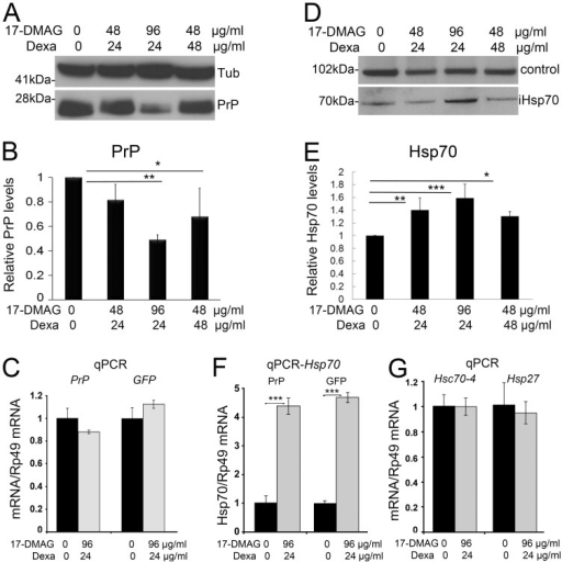 Co-treatment of 17-DMAG and dexamethasone reduces PrP and induces Hsp70.A and B, Flies expressing PrP ubiquitously (da>PrP-M9) were fed with combinations of 17-DMAG at 0, 48, and 96 µg/ml and dexamethasone at 0, 24, and 48 µg/ml during development. Analysis of PrP levels in 1 day-old flies by western blot showed significant reduction in PrP in two combinations following quantification and analysis by ANOVA, with 17-DMAG 96 µg/ml and dexamethasone 24 µg/ml inducing the strongest response. C, Analysis of PrP and GFP mRNA by qPCR showed no significant changes in flies treated with the optimum drug combination. D and E, Western blot and quantification of Hsp70 in flies treated with different combinations of 17-DMAG and dexamethasone. Quantification of Hsp70 followed by normalization with a non-specific band (control) revealed that all treatments induced significant increases in Hsp70, with 17-DMAG 96 µg/ml and dexamethasone 24 µg/ml inducing the strongest response. F, Expression of Hsp70 mRNAs by qPCR revealed a four-fold increase in flies treated with the optimum 17-DMAG/dexamethasone cocktail in flies expressing either PrP or CD8-GFP. G, Analysis of Hsc70-4 and Hsp27 mRNA by qPCR in flies treated with the optimum 17-DMAG/dexamethasone cocktail showed no significant changes in these two chaperones. Statistical significance was analyzed by ANOVA multiple comparisons for western blots and t-test for qPCR: * p<0.05; ** p<0.01; *** p<0.001.